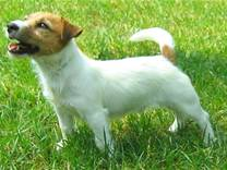 cane razza Jack Russell Terrier