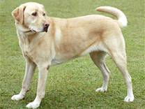 cane razza Labrador Retriever