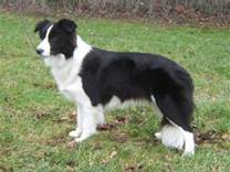 cane razza Border Collie