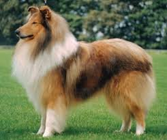 cane razza Collie